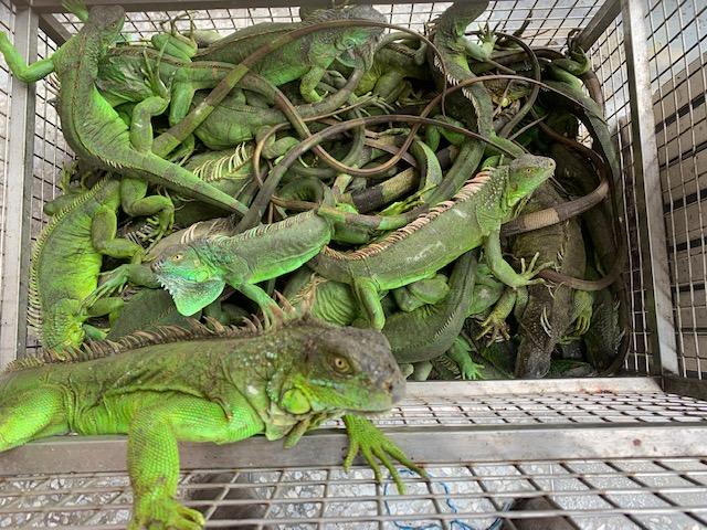 美洲綠鬣蜥有危害生態環境之虞 飼養須登記且不得任意繁殖