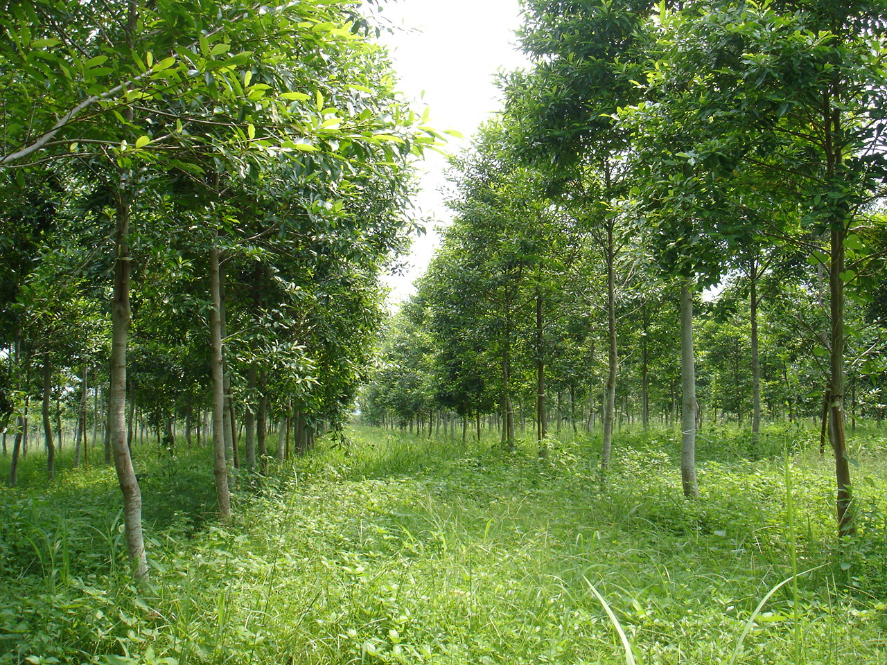Afforestation in the plain area in Gukeng township, Yunlin County--Formosan michelia.