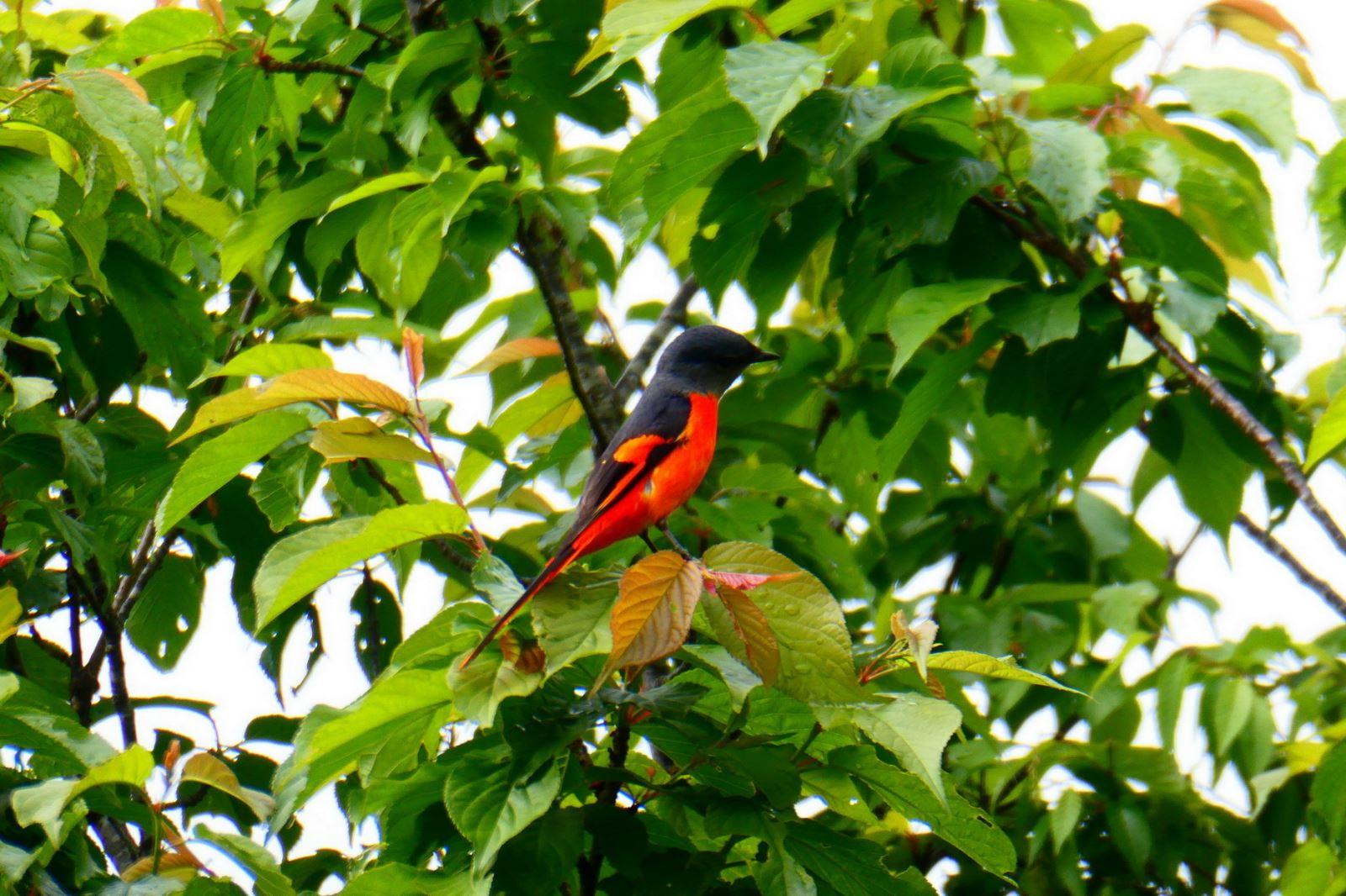 灰喉山椒鳥(公鳥)